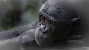 Riposo dello scimpanzè fotografia stock