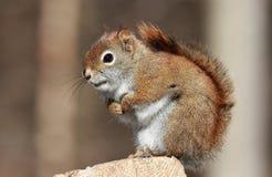 Riposo dello scoiattolo Fotografie Stock Libere da Diritti