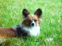Riposo di razza del cane del papillon Fotografie Stock