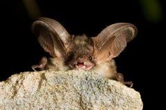 Riposo eared lungo grigio del pipistrello Fotografia Stock Libera da Diritti