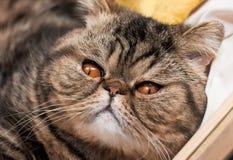 Riposo esotico del gatto Fotografie Stock Libere da Diritti