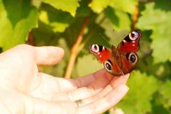 Riposo fragile della farfalla Fotografia Stock