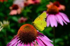 Riposo giallo del lepidottero Immagini Stock