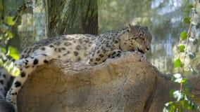 riposo grigio del leopardo fotografia stock