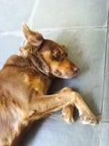 Riposo ma allarme del cane di Brown Immagini Stock