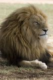 Riposo maschio del leone Immagine Stock