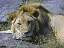 Riposo maschio del leone fotografia stock libera da diritti
