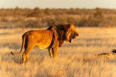 Riposo maschio del leone dopo il fermo Immagine Stock