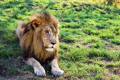 Riposo maschio maestoso del leone Fotografia Stock Libera da Diritti