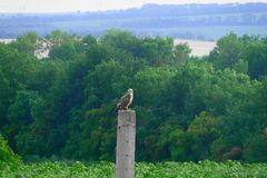 Riposo predatore dell'uccello Fotografia Stock