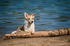Riposo rosso e bianco di razza del cane Fotografia Stock Libera da Diritti
