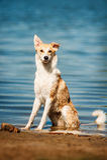 Riposo rosso e bianco di razza del cane Immagine Stock Libera da Diritti