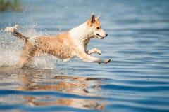 Riposo rosso e bianco di razza del cane Fotografie Stock Libere da Diritti