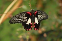 Riposo tropicale della farfalla Immagini Stock