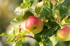 Rippe apples in the orchard ready for harvests Stock Images