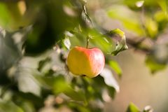 Rippe apples in the orchard ready for harvests Royalty Free Stock Image