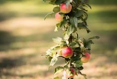 Rippe apples in the orchard ready for harvests Stock Photo
