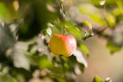 Rippe jabłka w sadzie przygotowywającym dla żniw Obraz Royalty Free