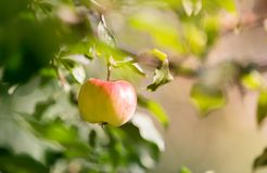 Rippe jabłka w sadzie przygotowywającym dla żniw Zdjęcia Stock