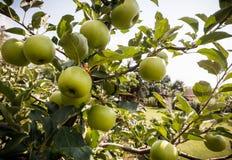 Rippe zieleni jabłka w sadzie Fotografia Stock