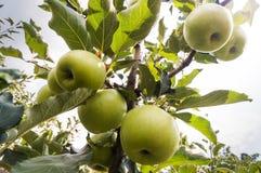 Rippe zieleni jabłka w sadzie Obraz Stock