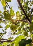 Rippe zieleni jabłka w sadzie Obrazy Stock