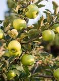Rippe zieleni jabłka w sadzie Zdjęcie Stock