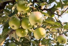 Rippe zieleni jabłka w sadzie Fotografia Royalty Free