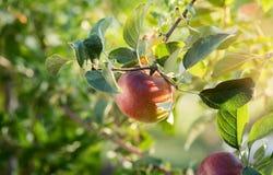 Rippe zielenieje jabłka w sadzie przygotowywającym dla żniw Fotografia Stock