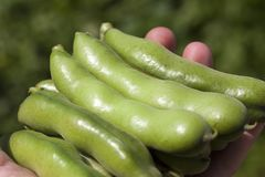 Large pods. Ripped and lying in the hand of a person large pods and fruits of beans, farming royalty free stock photo