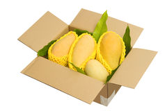Ripped mangoes in a paper box ready to export. Royalty Free Stock Photo