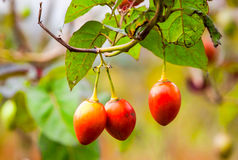 Ripped Tamarillo Fruits Stock Image