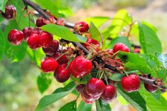 Rippen cherries on a branch Royalty Free Stock Image