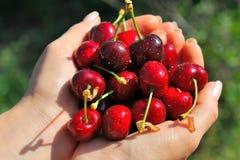Rippen cherries in a girl´s hands Stock Photos