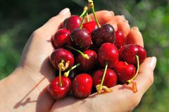 Rippen cherries in a girl´s hands Stock Photos