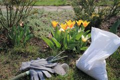 Ripper tool, mineral granulated fertilizer and gloves are in garden near flowering tulips at spring. Ripper tool, mineral granulated fertilizer and gloves are royalty free stock image