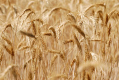 Ripping barley. A Ripping gold like looking barley Royalty Free Stock Image