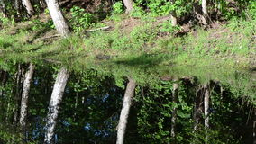 Ripple water birch tree. Ripple lake water surface and shore birch tree forest reflections on it stock video