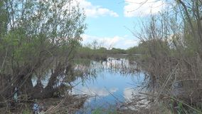 Landscape on a small pond. The ripples on the water. Dry reeds in the lake. Landscape on a small pond stock footage