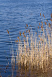 The rippling water, lakeside reeds. Royalty Free Stock Image
