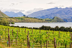 Rippon Vineyard - Wanaka Royalty Free Stock Images