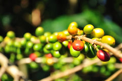 Almost ripr offee cherries Royalty Free Stock Images