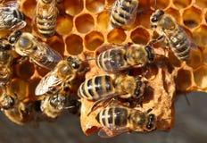 Riproduzione degli api Immagini Stock Libere da Diritti