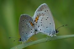 Riproduzione della farfalla Immagine Stock