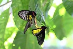 Riproduzione dorata della farfalla di Birdwing Fotografia Stock