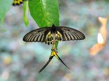 Riproduzione dorata della farfalla di Birdwing Fotografia Stock Libera da Diritti