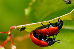 Riproduzione rossa degli scarabei di foglio fotografie stock libere da diritti
