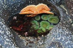 Riquezas de la piscina de la marea Imagen de archivo libre de regalías