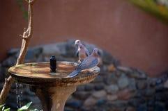 Rir mergulhou (o senegalensis de Spilopelia) fotografia de stock royalty free