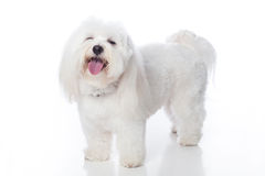 Rire blanc de chien Photos stock
